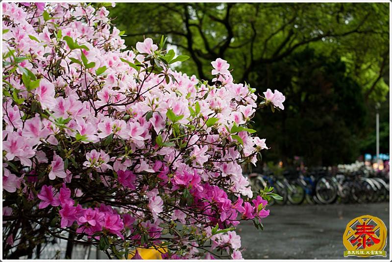 2011-03-26-台大杜鵑花 (10)