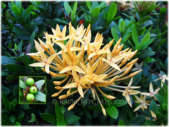 Ixora coccinea with peach-yellow flowers and small leaves, seen in the neighbourhood