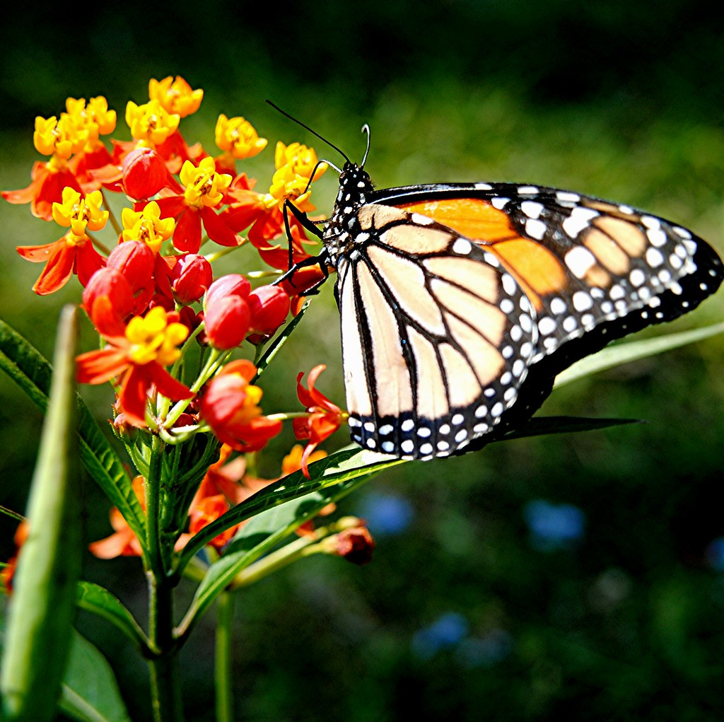 Monarch Butterfly is feasting on brilliant red and gold Milkweed