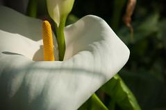 Detail (koDesign) Tags: white flower green yellow nikon basel gelb grün blume blüte weiss d300 botanischergarten nikkor2470f28