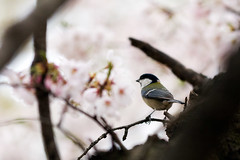Yoyogi Park, Tokyo (shin7d) Tags: japan t tokyo spring cherryblossom sakura yoyogipark
