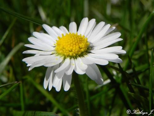 Daisy by Kathryn_J
