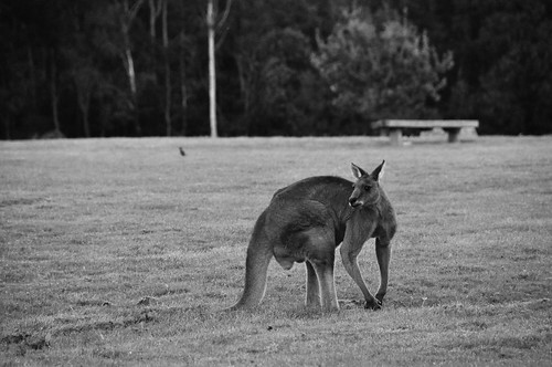 Male Eastern Grey Kangaroo - Cardinia Reservoir