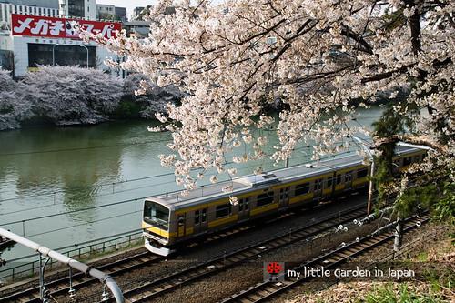 Sakura-in-Tokyo-10