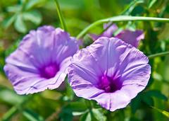 Purple Morning Glories In Chiang Mai Sun (aeschylus18917) Tags: flowers flower macro nature season thailand spring nikon seasons purple thai chiangmai  morningglory convolvulaceae 105mmf28     solanales 200400mm 200400mmf4gvr d700 nikkor105mmf28gvrmicro  ratchaanachakthai nikond700 danielruyle aeschylus18917 danruyle druyle   200400mmf40gvr