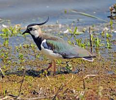 Lapwing at Brandon Marsh (robmcrorie) Tags: bird nature wildlife brandon reserve lapwing marsh warwickshire