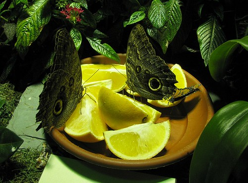 Butterflies feeding on lemon slices