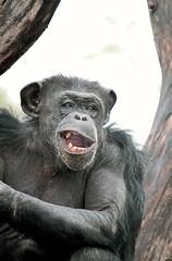 YEA--YEA--YEA, I Hear You !!! (Picture Taker 2) Tags: park nature beautiful closeup outdoors zoo funny colorful chimp wildlife stlouis missouri curious unusual chimpanzee stlouiszoo captive upclose primate zooshot wildanimals africaanimals