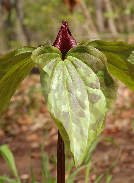 Silver Lake Park, in Highland, Illinois, USA - Trillium sessile (Wake Robin) wildflower