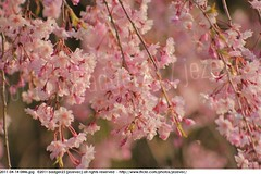 2011-04-14 0446 Sakura, Prunus serrulata, the weeping cherry tree blossoms (Badger 23 / jezevec) Tags: park pink flowers flower tree cherry spring blossom indianapolis blossoms indiana anh bloom  flowering sakura blooms holliday weeping hoa blooming prunus cerezo weepingcherry    kirschblte   jezevec cvijet serrulata shidarezakura prunusserrulata o krsbr   cseresznyevirg japanskt  hoaanho kirsuberjatr badger23 namumulaklak  trenjin    seresang trenjincvijet