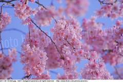 2011-04-14 0503 Sakura, Prunus serrulata, the weeping cherry tree blossoms (Badger 23 / jezevec) Tags: park pink flowers flower tree cherry spring blossom indianapolis blossoms indiana anh bloom  flowering sakura blooms holliday weeping hoa blooming prunus cerezo weepingcherry    kirschblte   jezevec cvijet serrulata shidarezakura prunusserrulata o krsbr   cseresznyevirg japanskt  hoaanho kirsuberjatr badger23 namumulaklak  trenjin    seresang trenjincvijet