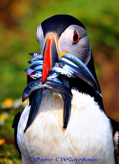 Puffin with sandeels. (spw6156) Tags: copyright lens 1 hand with steve  large bbc 400 puffin mm waterhouse bbcredbutton series500 heldiso sandeelsjust seenonautumnwatchunsprungspringwatch