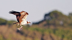 One Talon Catch (minds-eye) Tags: fish fishing florida hunting catch osprey birdsofprey guana gtmnerr