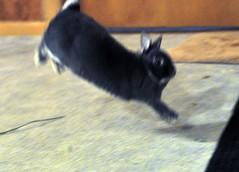 Max on the way down (sensitivebunnyguy) Tags: bunnies houserabbits cutebunnyphotos