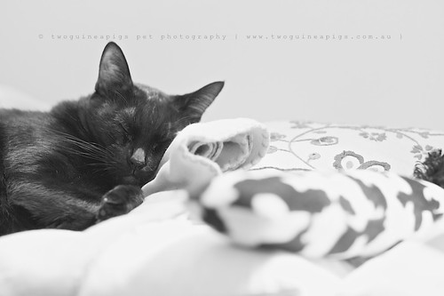 twoguineapigs pet photography sleeping black cat