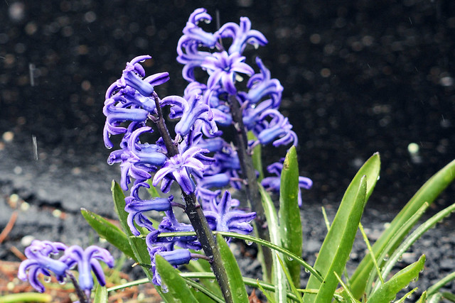 flowers rain III
