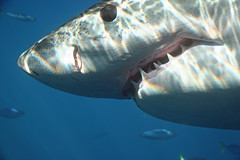 Great White Shark (sharkdefenders) Tags: mexico shark greatwhiteshark guadalupeisland sharkdefenders