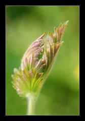 """Feuille en devenir (Bruce """"El Diabolo"""") Tags: macro nature spring vegetation printemps feuille eclosion"""