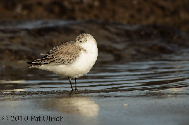 Sanderling in Point Reyes National Seashore - Pat Ulrich Wildlife Photography
