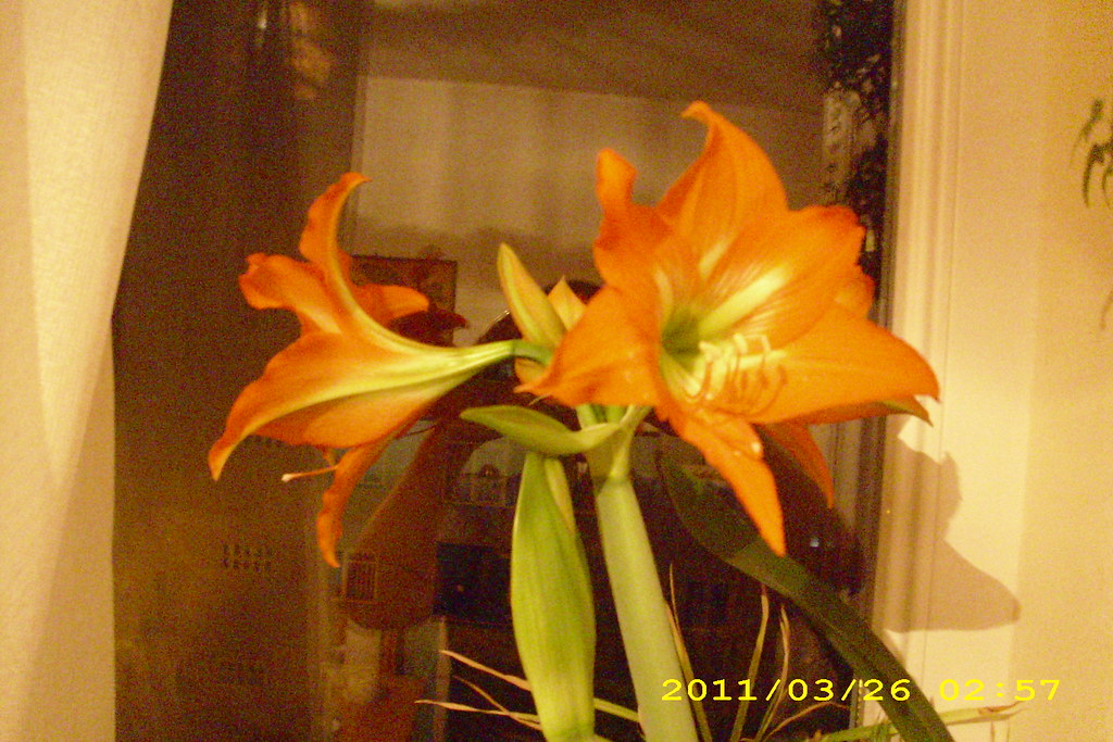 floare crin
