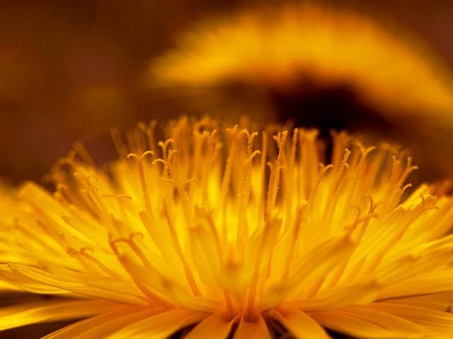 The colour beauty of dandelions