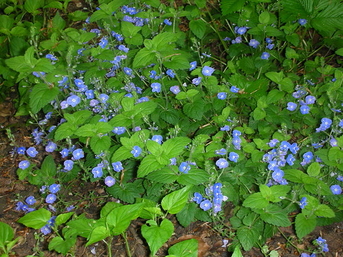 Germander Speedwell (Veronica chamaedrys) by Peter Orchard