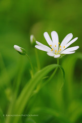 IMG_7353 (firebird_kate) Tags: flower macro stellaria