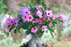 Adenium-6 (Bonsai Adenium Plant) Tags: life plant for perfect whole gift item adenium