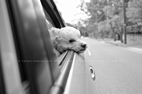 Taking in the breeze  Mozart poodle cross maltese dog photography by twoguineapigs Pet Photography