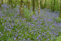Bluebells at Trevarno by Tim Green aka atoach