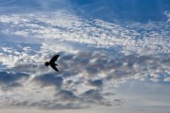 Flying... (Ana Pratas) Tags: sky silhouette clouds c silhouete cu nuvens canoneos350d seagul gaivota aveiro silhueta sigma2470mmf28exdgmacro cu