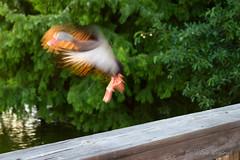 Blur... (Eric Weintraub) Tags: bird birds canon wildlife canoneos7d canon7d
