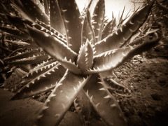 plant_WPPD_2011 (wanderlustcameras) Tags: bw plant sepia garden olympus pinhole wanderlust pinholecamera vignette ep1 superwideangle warmtone digitalpinhole m43 wideanglepinhole digitalpinholecamera micro43 wanderlustcameras pinwide superwidepinhole wppd2011