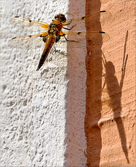 shadow on the wall  (Hausstaubmilbe) Tags: shadow macro wall insect rust dragonfly natur libelle burgenland neusiedlersee canoneos7d canonef70300mmf456lisusm