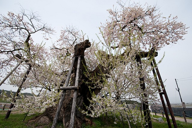 Cherry blossoms in Fukushima3 (Aizu-wakamatsu)