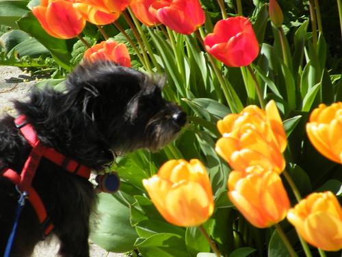 Yoda: Tulips nice smell