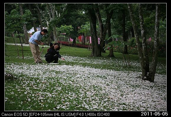 20110505_F7客家大院油桐花