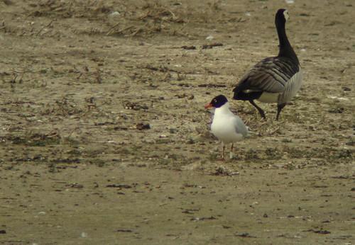 Zwartkopmeeuw / Mediterranean Gull / Ichthyaetus melanocephalus