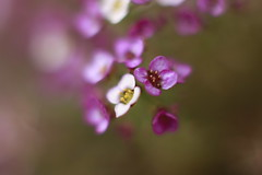 Alyssum (louisa_catlover) Tags: flowers plant macro nature garden walking dof purple suburban bokeh australia melbourne local neighbourhood alyssum brassicaceae 3129 boxhillnorth