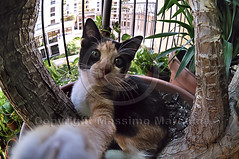 001502 D 300 (Massimo Marchina) Tags: italy animals cat italia fisheye gato katze gatto vicenza veneto mimì affisheyenikkor105mm128geddx