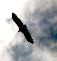 Span (cormend) Tags: travel nepal sky mist black bird silhouette clouds trekking trek canon eos fly asia hiking flight bazaar himalaya khumbu everest wingspan chough gokyo namche 50d cormend