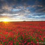 Poppyfield Sunset