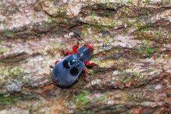 Hairy, Colorful Beetle (Michael Graupe) Tags: blue red hairy rainforest costarica beetle dominical haciendabaru