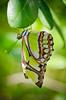 Malachite (Tcottrell) Tags: macro butterfly nikon tamron malachite d7000 beautifulmonsters
