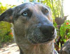Eager to submit (serialplantfetishist) Tags: california dogs june rose heidi berkeley 2011