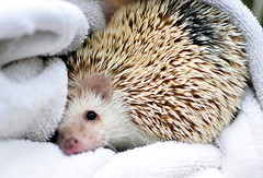 hedgehog (hep) Tags: cute animal spiky hedgehog