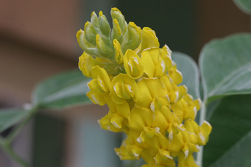 Cytisus battandieri - Pineapple Broom