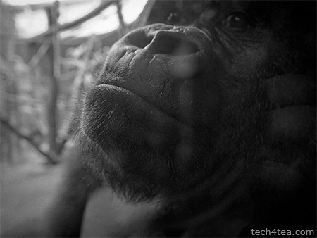 I've never been so up close and personal with a gorilla before.
