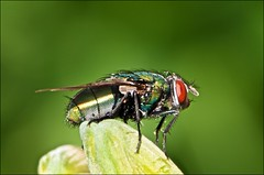 Budding Green Bottle Fly (Jeannot7) Tags: ontario macro backyard blowfly cobourg greenfly nikkormicro105mmf28 luciliasericata commongreenbottlefly nikond300s