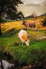 Longshaw_240913_0140 (Steve Bark) Tags: uk england animal cow fuji cattle district derbyshire peak bull fujifilm gorge brook burbage padley xpro1 xtrans